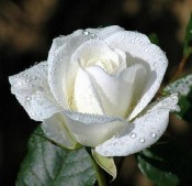 WHITE ROSE C