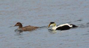 Birds Eider Ducks M and F