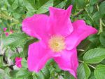 Rosa Rugosa Sandy Winslow Grindle